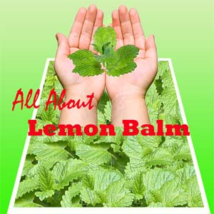 All about lemon balm